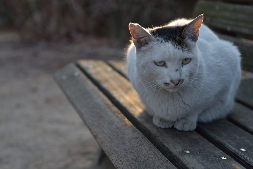 耳カット 猫